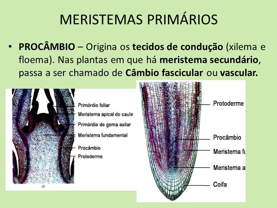 MERISTEMAS PRIMÁRIOS PROCÂMBIO – Origina os tecidos de condução (xilema e floema). Nas plantas em que há meristema secundário, passa a ser chamado de
