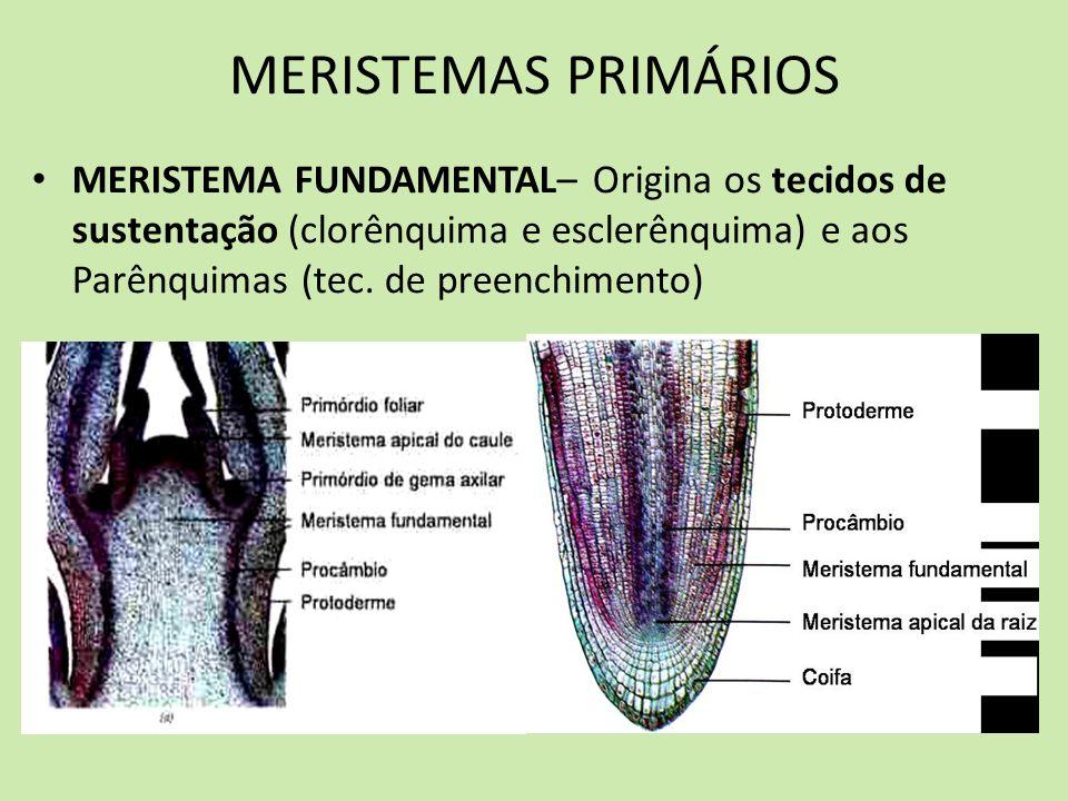 MERISTEMAS PRIMÁRIOS MERISTEMA FUNDAMENTAL– Origina os tecidos de sustentação (clorênquima e esclerênquima) e aos Parênquimas (tec. de preenchimento)