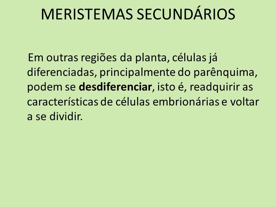 MERISTEMAS SECUNDÁRIOS Em outras regiões da planta, células já diferenciadas, principalmente do parênquima, podem se desdiferenciar, isto é, readquiri