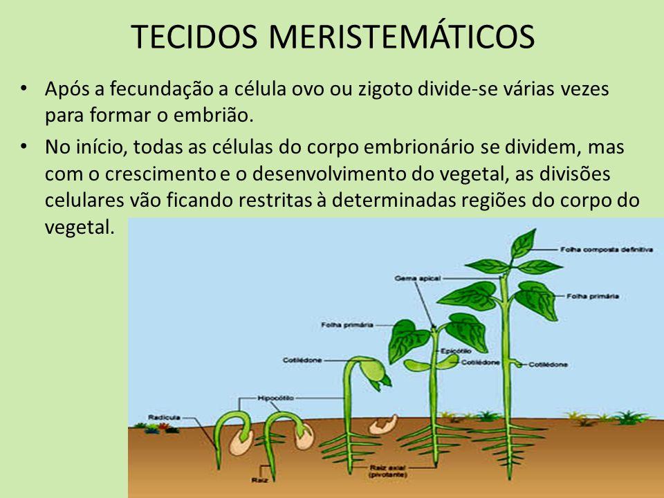 Assim no vegetal adulto, algumas células permanecem embrionárias, isto é, conservam sua capacidade de divisão e multiplicação e a estes tecidos que permanecem embrionários, damos o nome de MERISTEMAS ( do grego meristos = dividir).