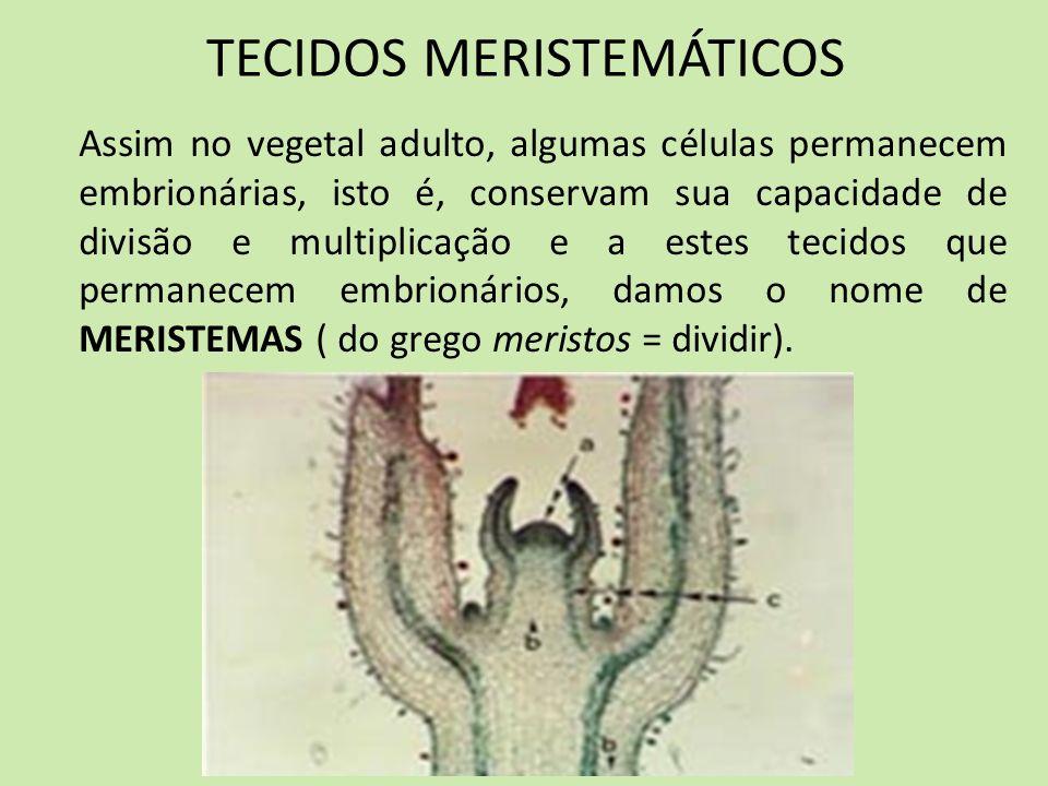 MERISTEMAS SECUNDÁRIOS Em outras regiões da planta, células já diferenciadas, principalmente do parênquima, podem se desdiferenciar, isto é, readquirir as características de células embrionárias e voltar a se dividir.