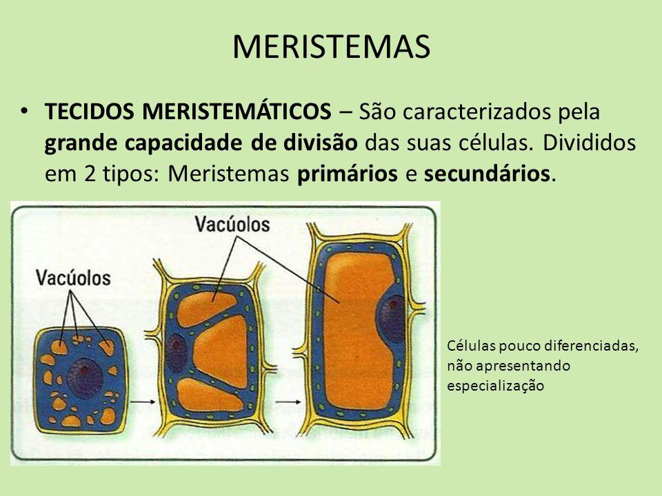 MERISTEMAS TECIDOS MERISTEMÁTICOS – São caracterizados pela grande capacidade de divisão das suas células. Divididos em 2 tipos: Meristemas primários