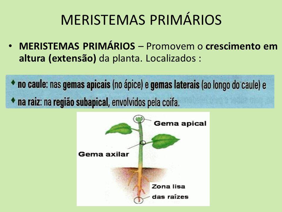 MERISTEMAS PRIMÁRIOS MERISTEMAS PRIMÁRIOS – Promovem o crescimento em altura (extensão) da planta. Localizados :