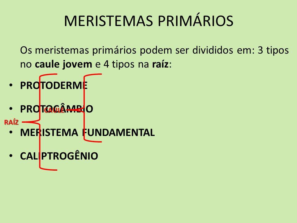 Os meristemas primários podem ser divididos em: 3 tipos no caule jovem e 4 tipos na raíz: PROTODERME PROTOCÂMBIO MERISTEMA FUNDAMENTAL CALIPTROGÊNIO C