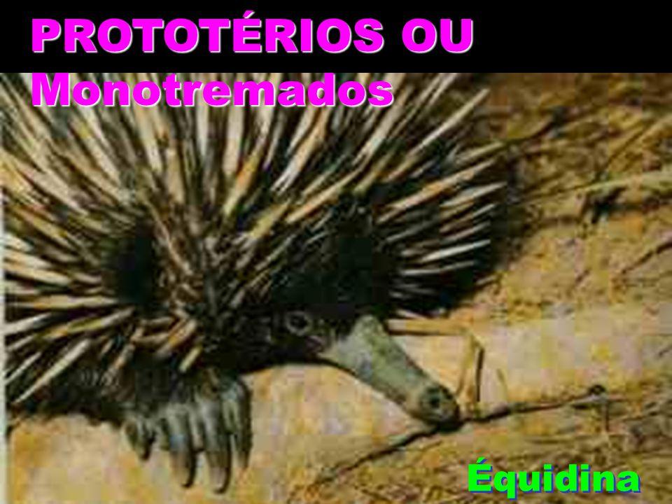 PROTOTÉRIOS OU Monotremados Équidina