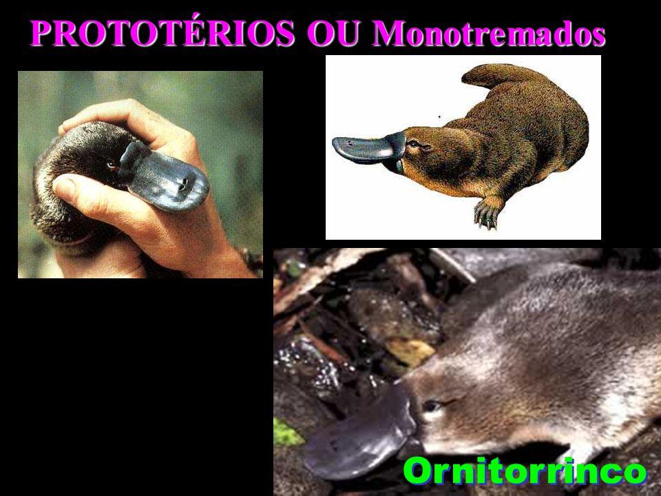 PROTOTÉRIOS OU Monotremados Ornitorrinco
