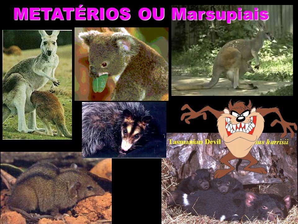 METATÉRIOS OU Marsupiais