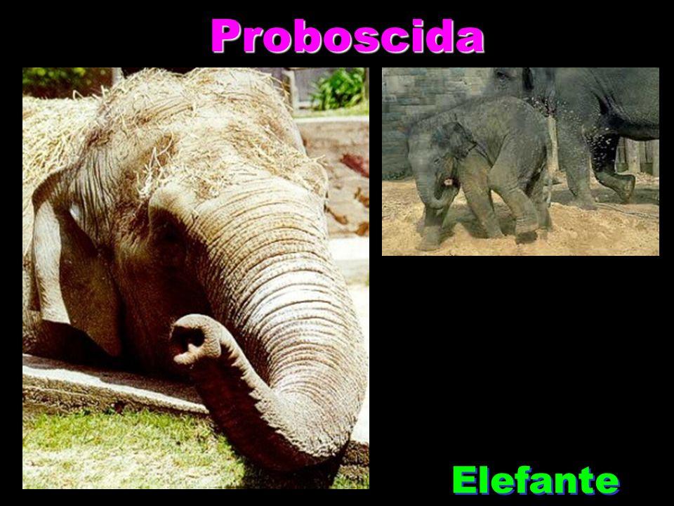 Proboscida Proboscida Elefante