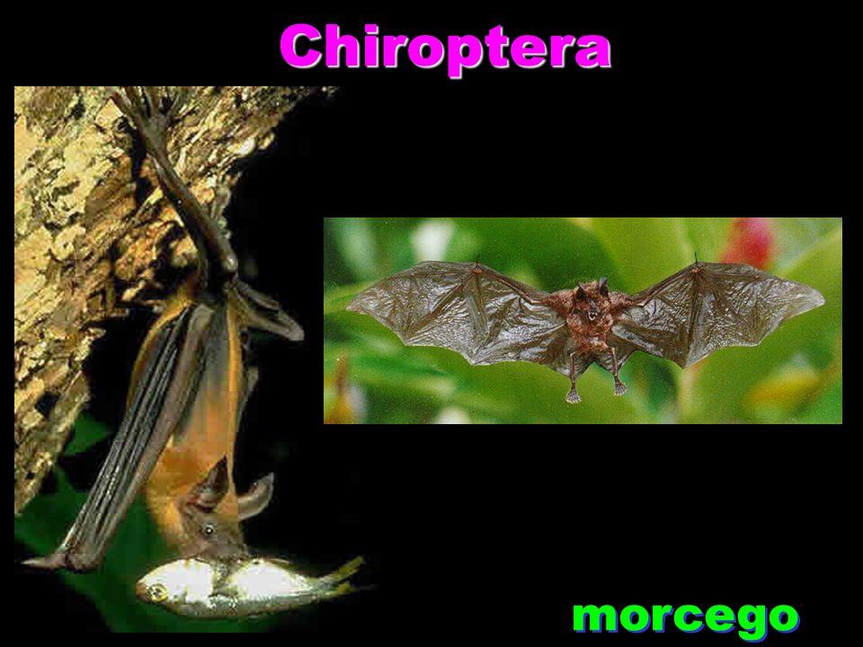 Chiroptera Chiroptera morcego