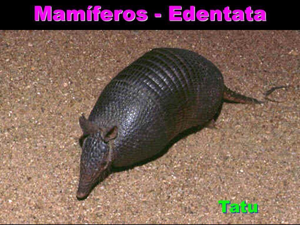 Mamíferos - Edentata Tatu