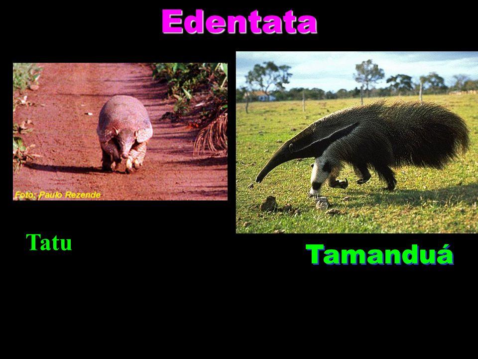 Edentata Tamanduá Tatu