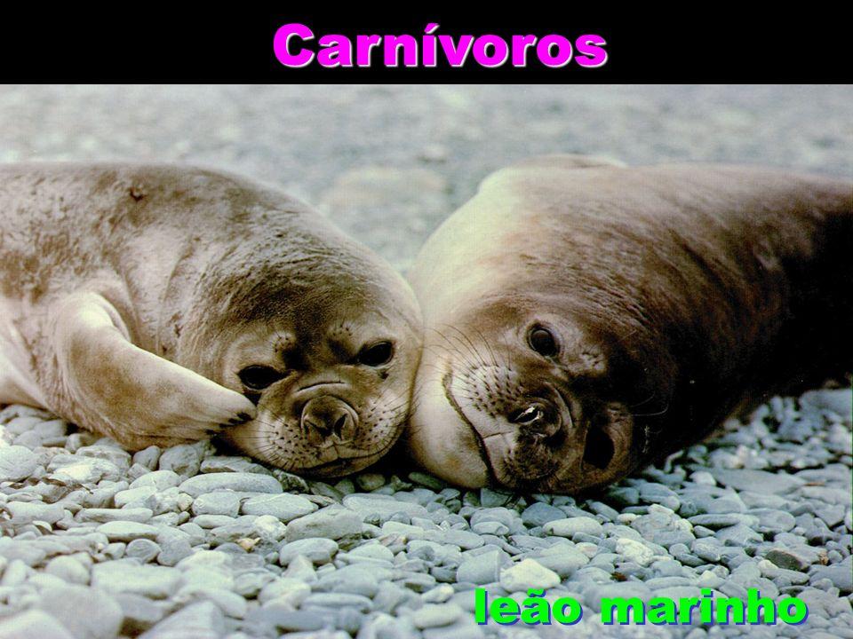 Carnívoros Carnívoros leão marinho leão marinho