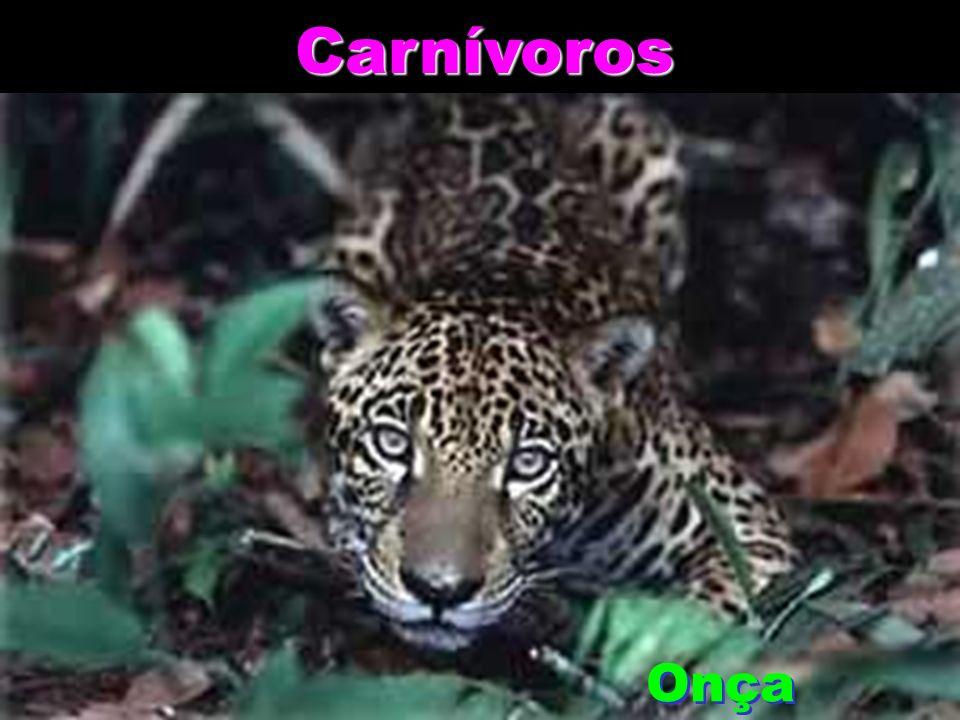 Carnívoros Onça