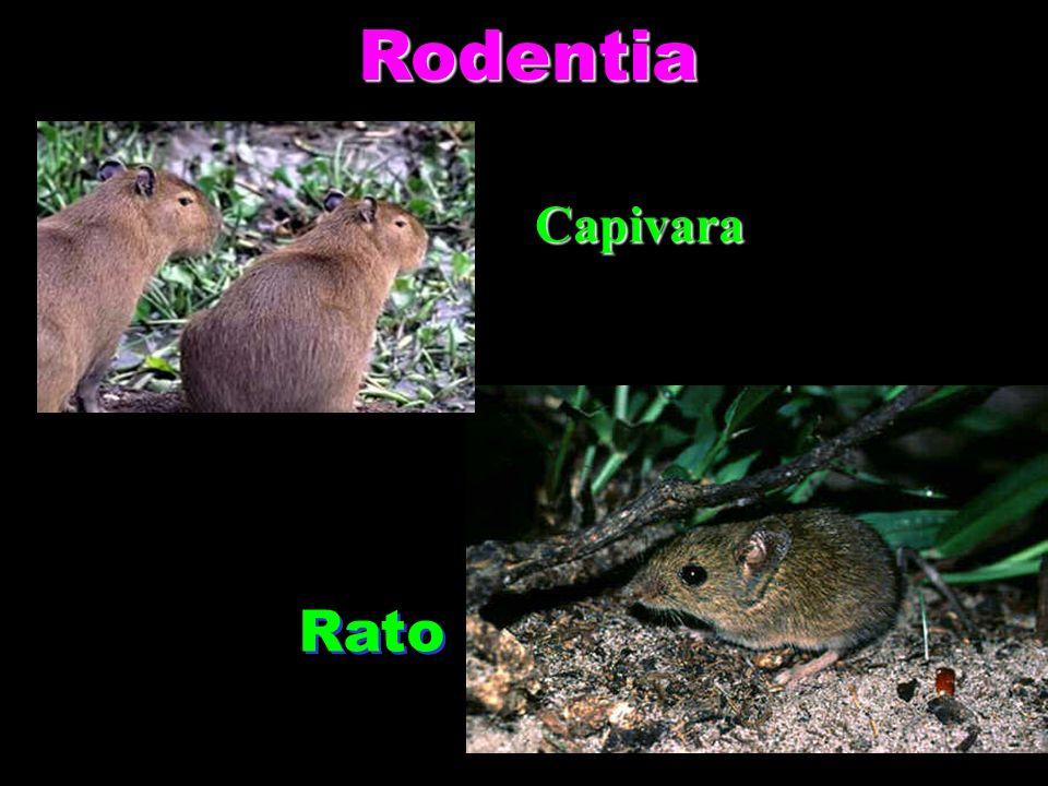 Rodentia Rato Capivara