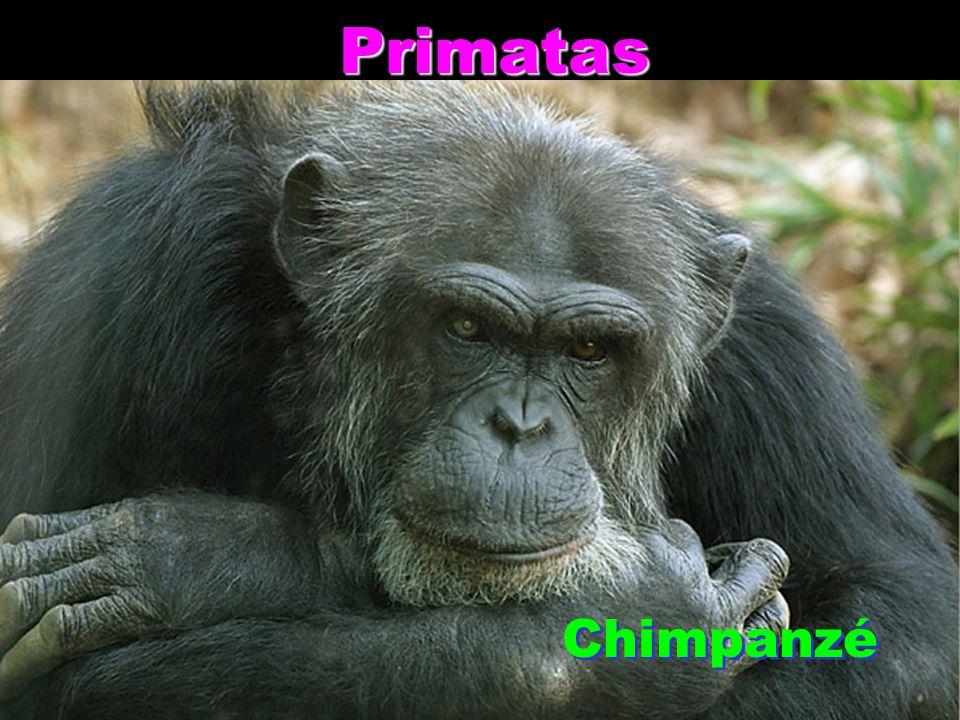 Primatas Primatas Chimpanzé