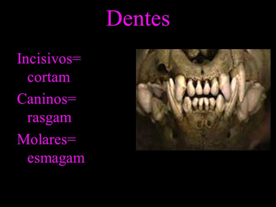 Dentes Incisivos= cortam Caninos= rasgam Molares= esmagam