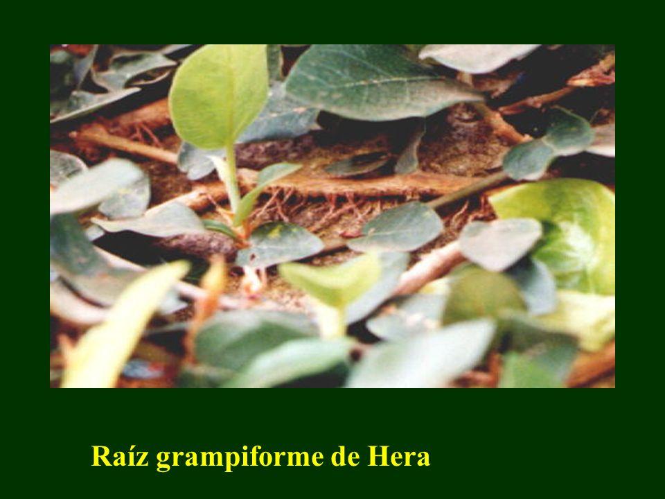 Raíz grampiforme de Hera