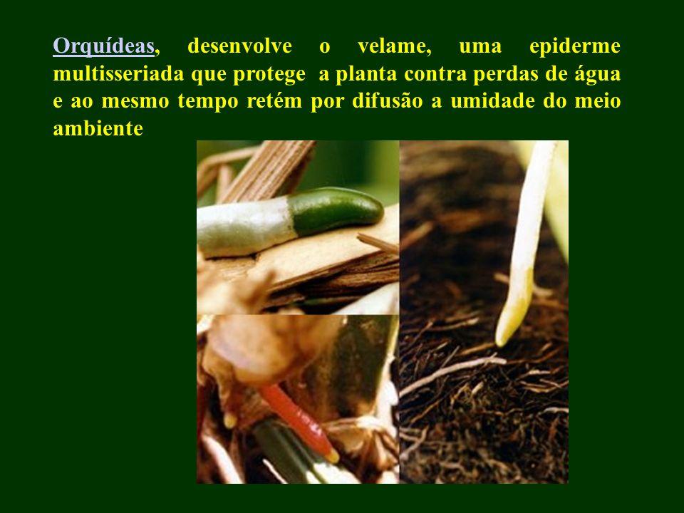 OrquídeasOrquídeas, desenvolve o velame, uma epiderme multisseriada que protege a planta contra perdas de água e ao mesmo tempo retém por difusão a um