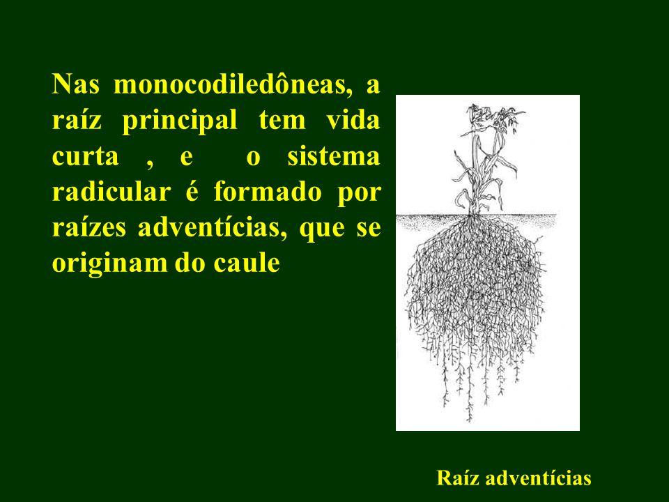 Nas monocodiledôneas, a raíz principal tem vida curta, e o sistema radicular é formado por raízes adventícias, que se originam do caule Raíz adventíci