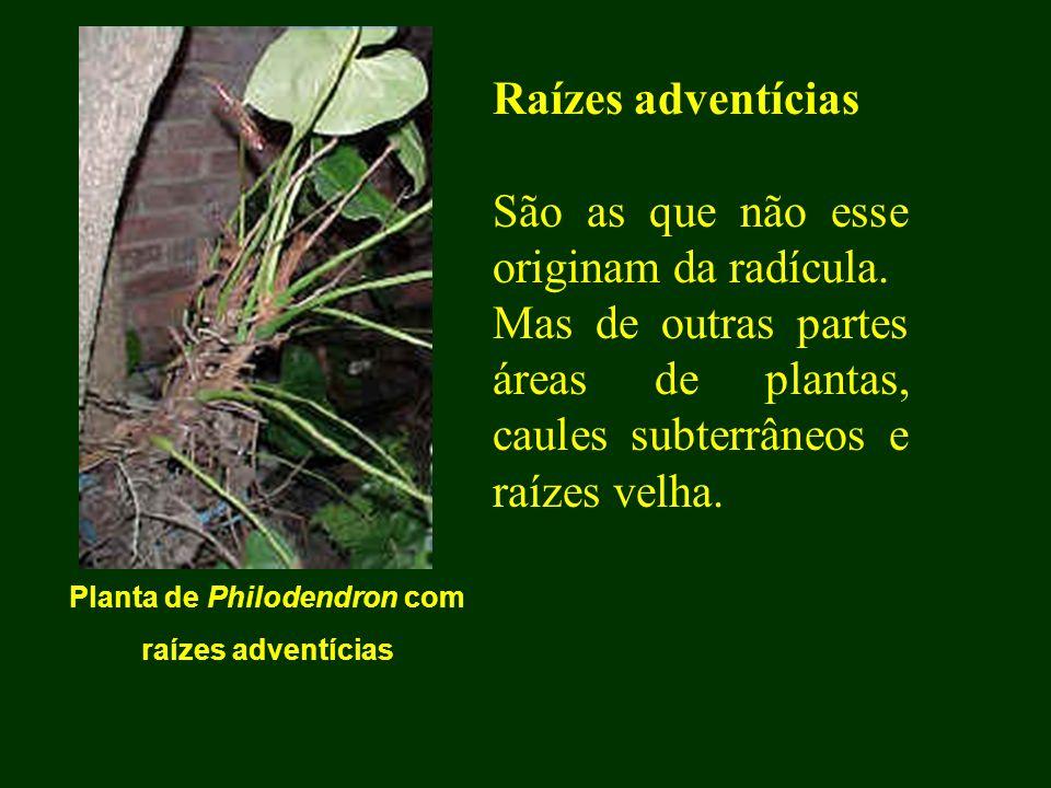 Raízes adventícias São as que não esse originam da radícula. Mas de outras partes áreas de plantas, caules subterrâneos e raízes velha. Planta de Phil