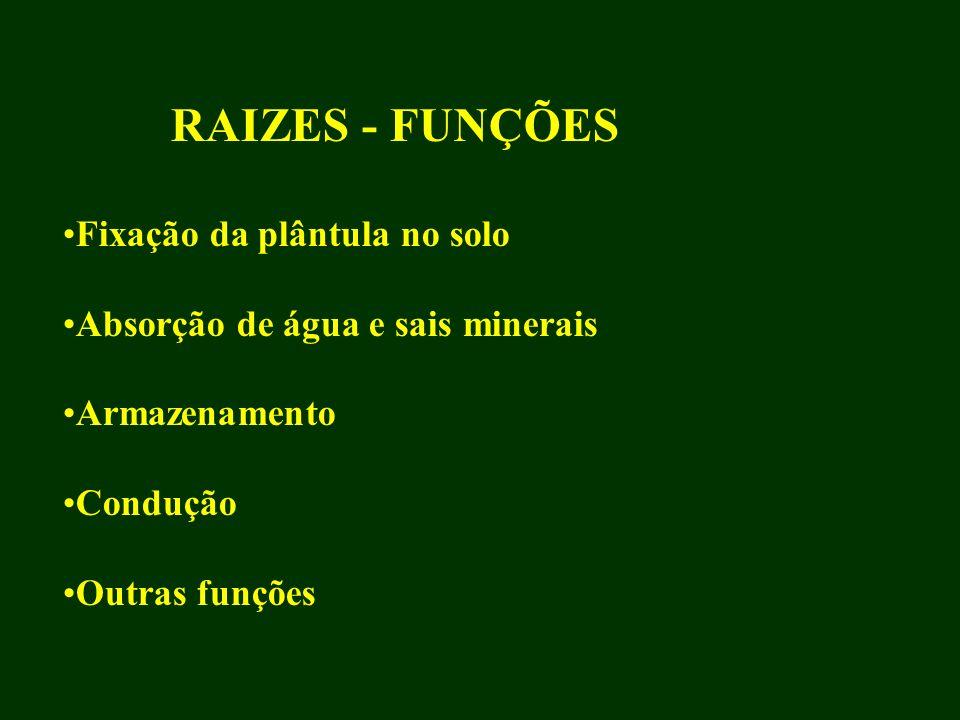 RAIZES - FUNÇÕES Fixação da plântula no solo Absorção de água e sais minerais Armazenamento Condução Outras funções