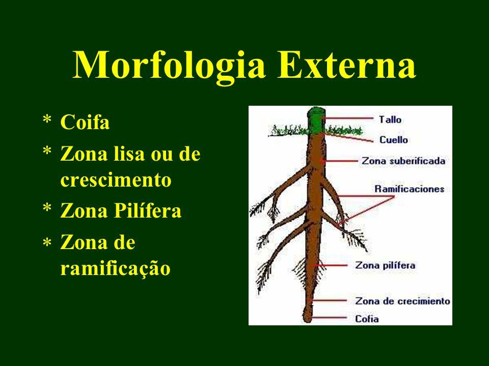 Morfologia Externa *Coifa *Zona lisa ou de crescimento *Zona Pilífera Zona de ramificação