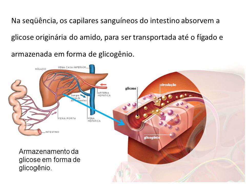 Na seqüência, os capilares sanguíneos do intestino absorvem a glicose originária do amido, para ser transportada até o fígado e armazenada em forma de