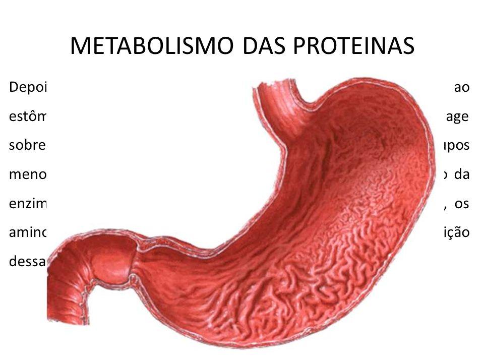 No estômago ocorrerá a degradação das proteínas Depois da trituração mecânica na boca as proteínas chegam ao estômago e sofrem a ação de uma enzima ch