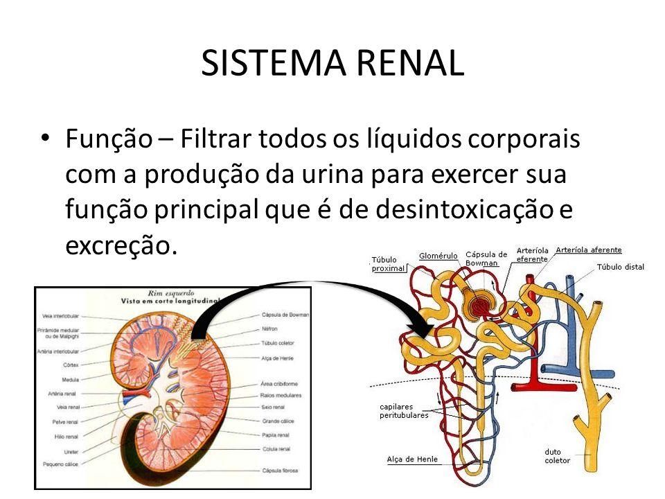 SISTEMA RENAL Função – Filtrar todos os líquidos corporais com a produção da urina para exercer sua função principal que é de desintoxicação e excreçã
