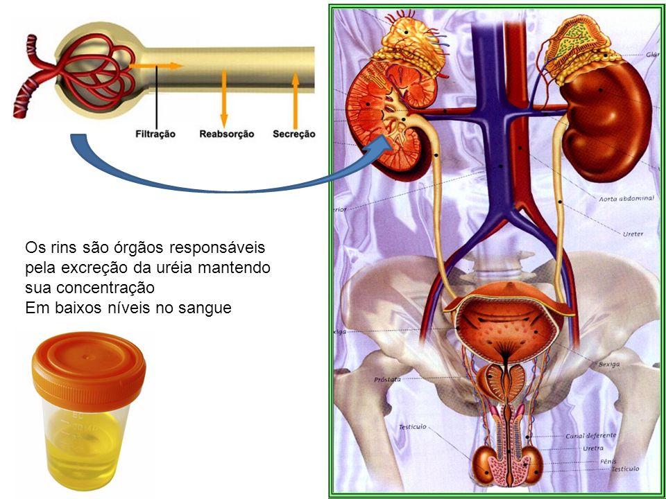 Os rins são órgãos responsáveis pela excreção da uréia mantendo sua concentração Em baixos níveis no sangue