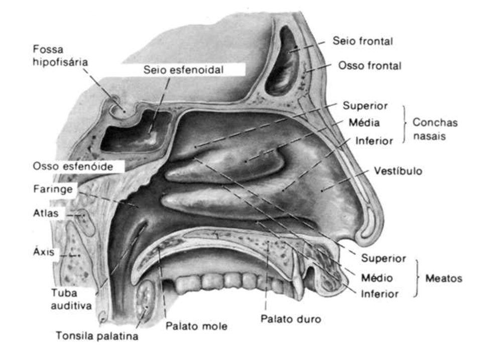Quando inspiramos pelo nariz, os pelos das narinas retêm partículas maiores que estão suspensas no ar para que ele chegue mais limpo à traquéia. Essa