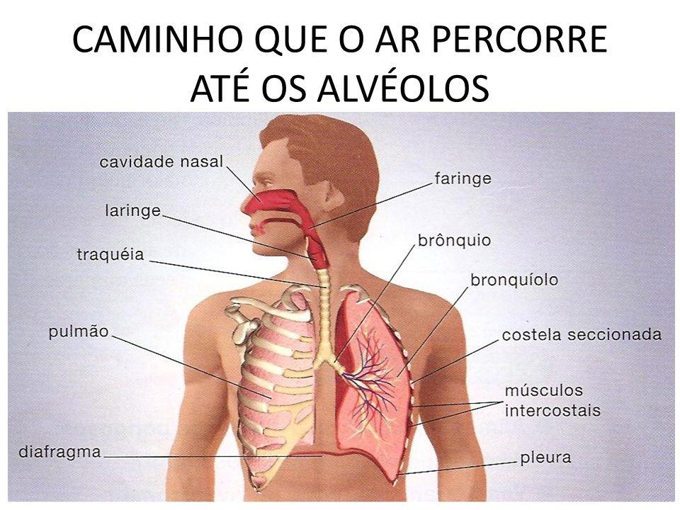 CAMINHO QUE O AR PERCORRE ATÉ OS ALVÉOLOS Nos humanos, o ar flui através de duas cavidades nasais e uma boca para a faringe (garganta), depois para a