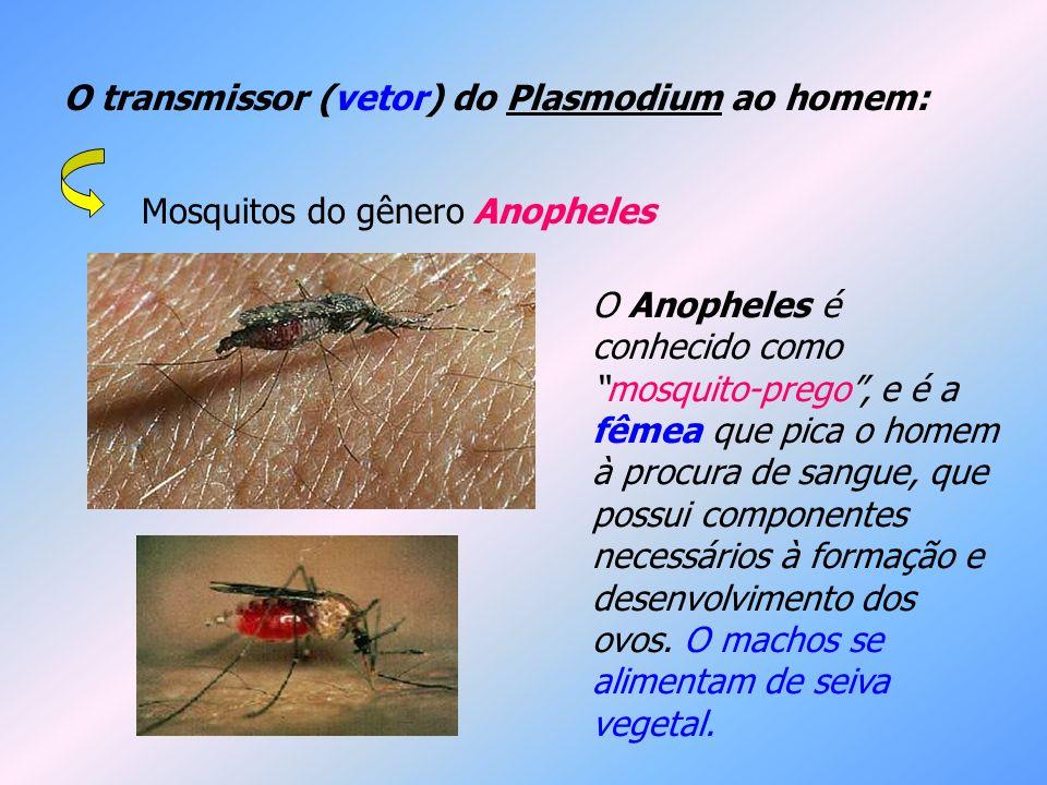 O transmissor (vetor) do Plasmodium ao homem: Mosquitos do gênero Anopheles O Anopheles é conhecido comomosquito-prego, e é a fêmea que pica o homem à