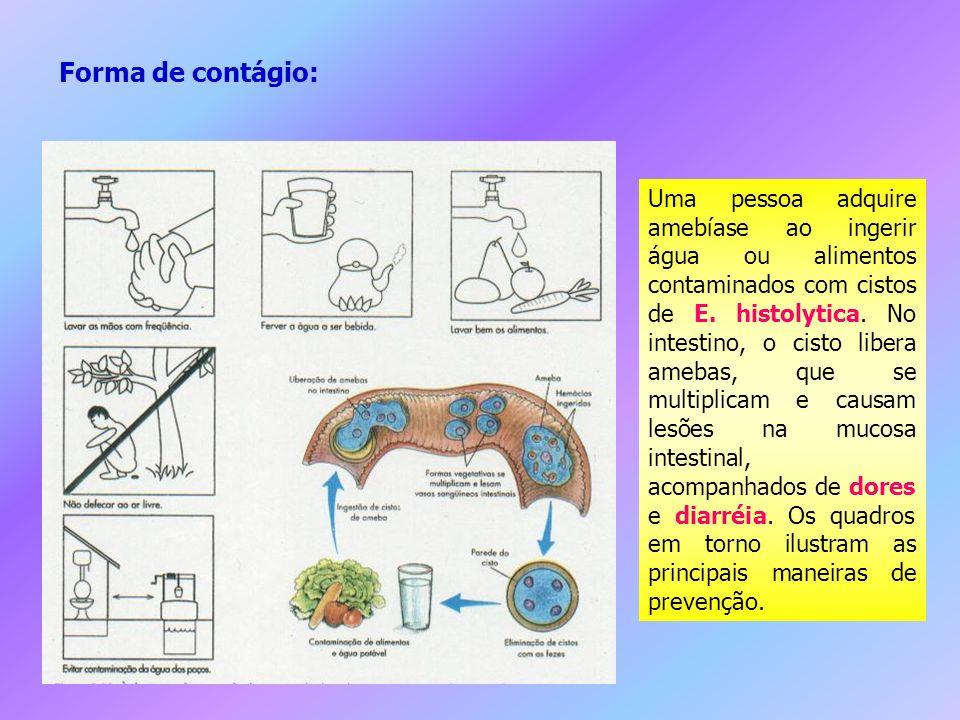 Uma pessoa adquire amebíase ao ingerir água ou alimentos contaminados com cistos de E. histolytica. No intestino, o cisto libera amebas, que se multip