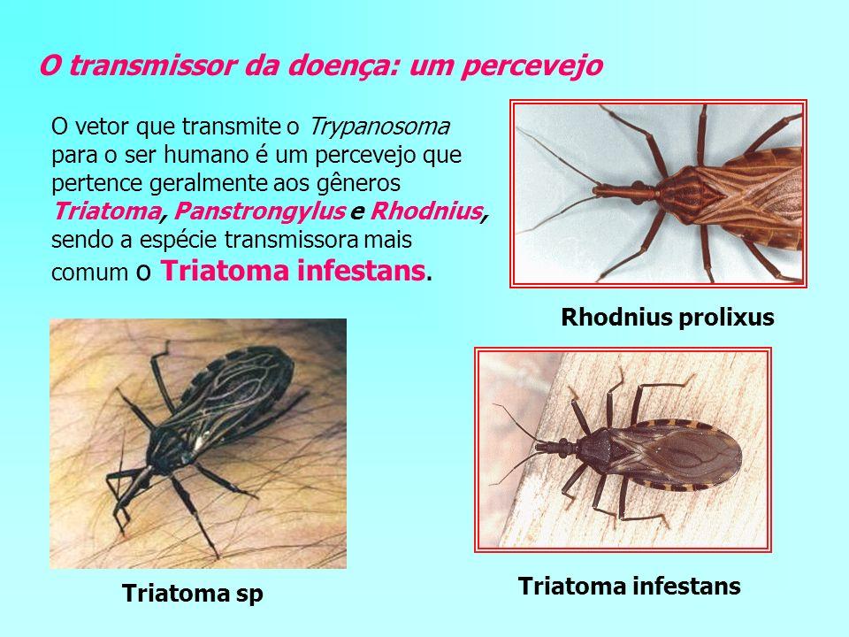 O transmissor da doença: um percevejo O vetor que transmite o Trypanosoma para o ser humano é um percevejo que pertence geralmente aos gêneros Triatom