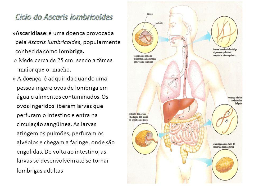 » Ascaridíase: é uma doença provocada pela Ascaris lumbricoides, popularmente conhecida como lombriga. » Mede cerca de 25 cm, sendo a fêmea maior que