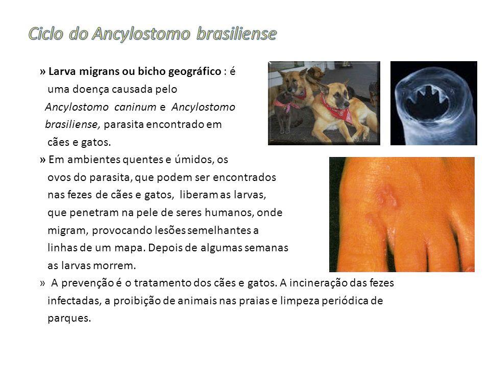 » Larva migrans ou bicho geográfico : é uma doença causada pelo Ancylostomo caninum e Ancylostomo brasiliense, parasita encontrado em cães e gatos.