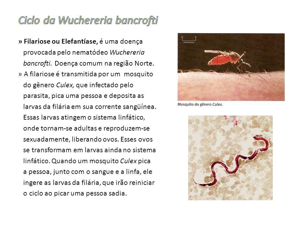 » Filariose ou Elefantíase, é uma doença provocada pelo nematódeo Wuchereria bancrofti. Doença comum na região Norte. » A filariose é transmitida por