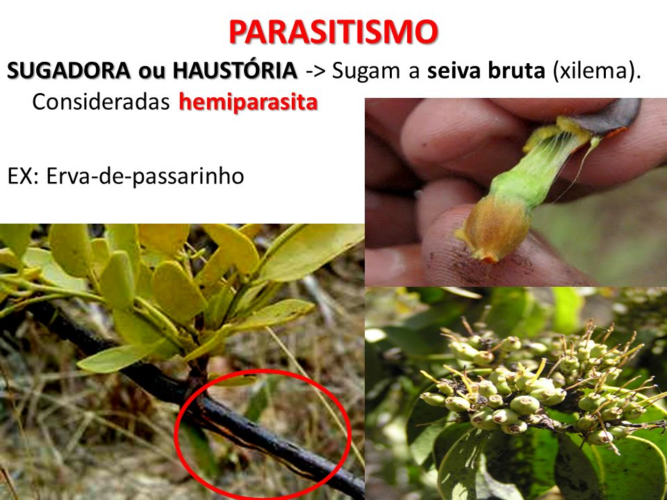PARASITISMO SUGADORA ou HAUSTÓRIA hemiparasita SUGADORA ou HAUSTÓRIA -> Sugam a seiva bruta (xilema). Consideradas hemiparasita EX: Erva-de-passarinho
