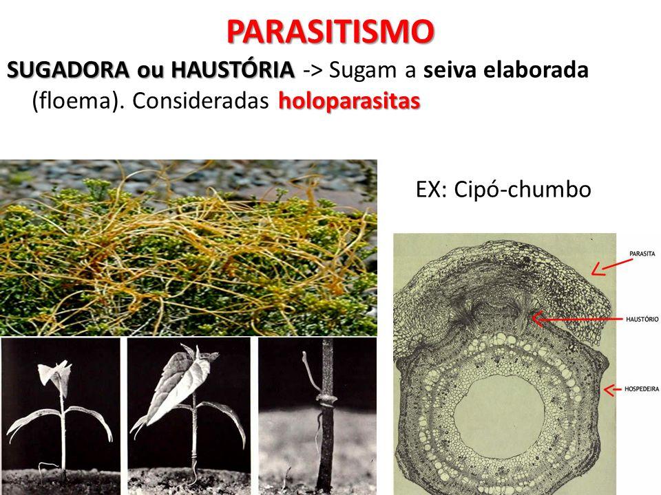 SUGADORA ou HAUSTÓRIA holoparasitas SUGADORA ou HAUSTÓRIA -> Sugam a seiva elaborada (floema). Consideradas holoparasitasPARASITISMO EX: Cipó-chumbo