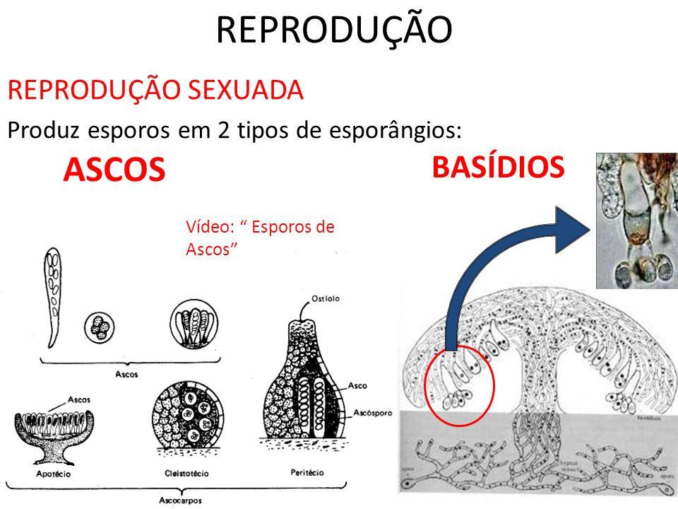 REPRODUÇÃO REPRODUÇÃO SEXUADA Produz esporos em 2 tipos de esporângios: ASCOS BASÍDIOS Vídeo: Esporos de Ascos