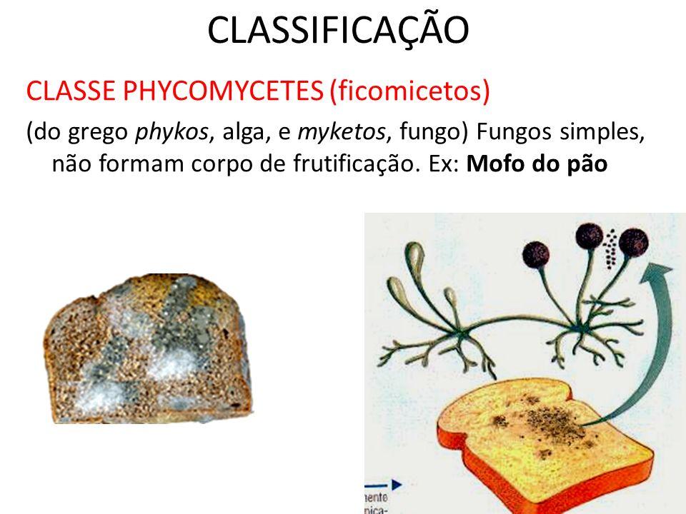 CLASSIFICAÇÃO CLASSE PHYCOMYCETES (ficomicetos) (do grego phykos, alga, e myketos, fungo) Fungos simples, não formam corpo de frutificação. Ex: Mofo d