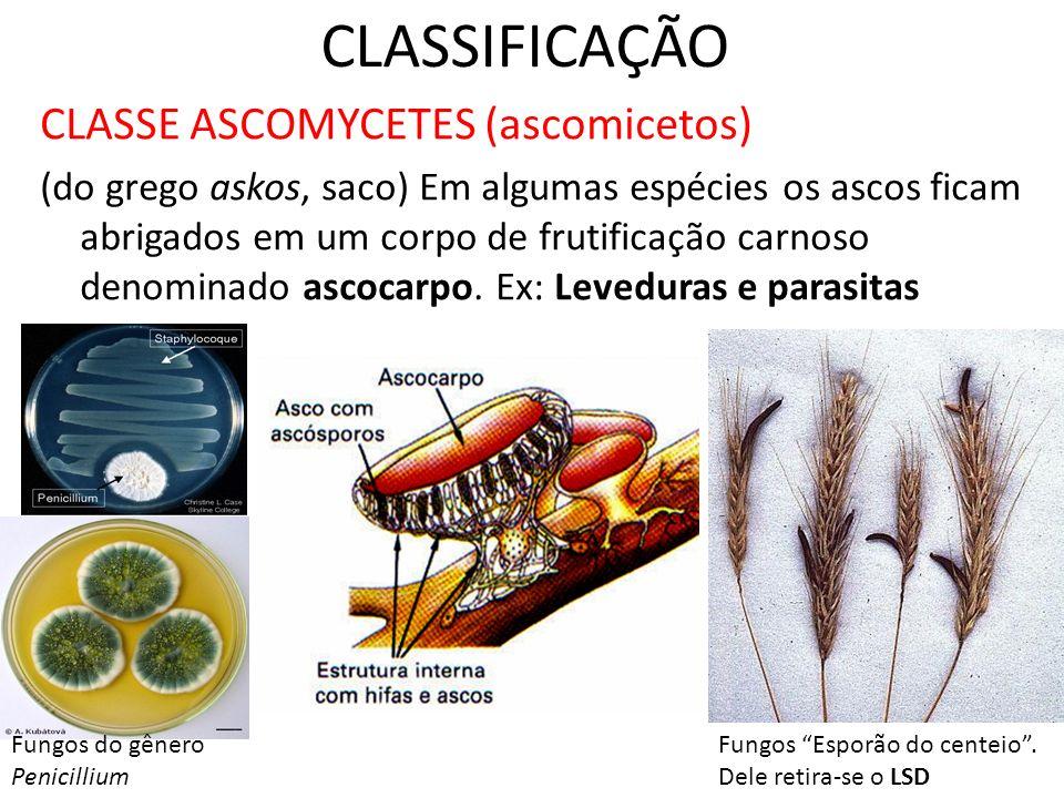CLASSIFICAÇÃO CLASSE ASCOMYCETES (ascomicetos) (do grego askos, saco) Em algumas espécies os ascos ficam abrigados em um corpo de frutificação carnoso