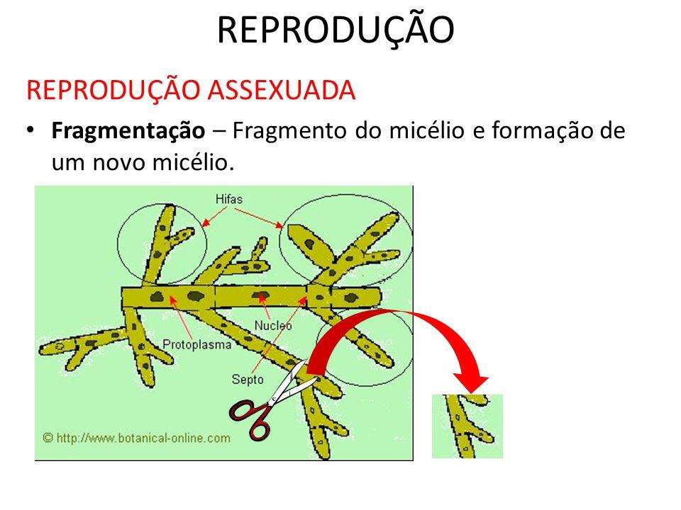 REPRODUÇÃO REPRODUÇÃO ASSEXUADA Fragmentação – Fragmento do micélio e formação de um novo micélio.