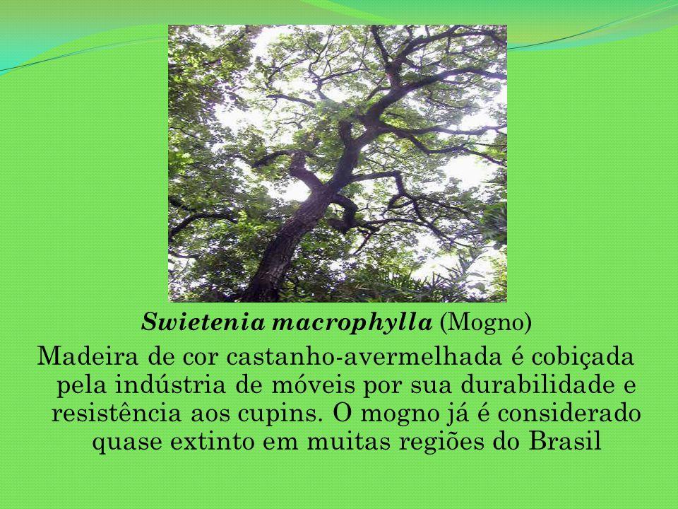 Swietenia macrophylla (Mogno) Madeira de cor castanho-avermelhada é cobiçada pela indústria de móveis por sua durabilidade e resistência aos cupins. O