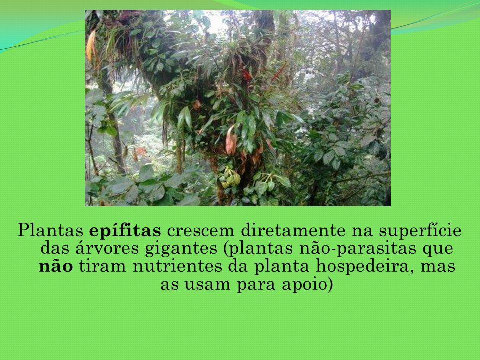 Plantas epífitas crescem diretamente na superfície das árvores gigantes (plantas não-parasitas que não tiram nutrientes da planta hospedeira, mas as u
