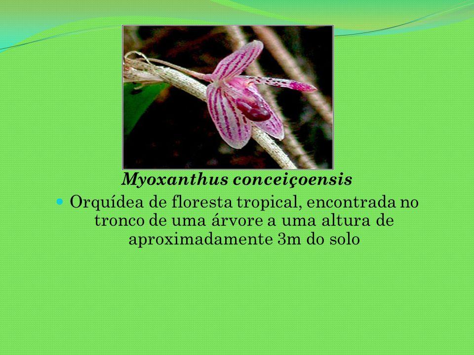 Myoxanthus conceiçoensis Orquídea de floresta tropical, encontrada no tronco de uma árvore a uma altura de aproximadamente 3m do solo