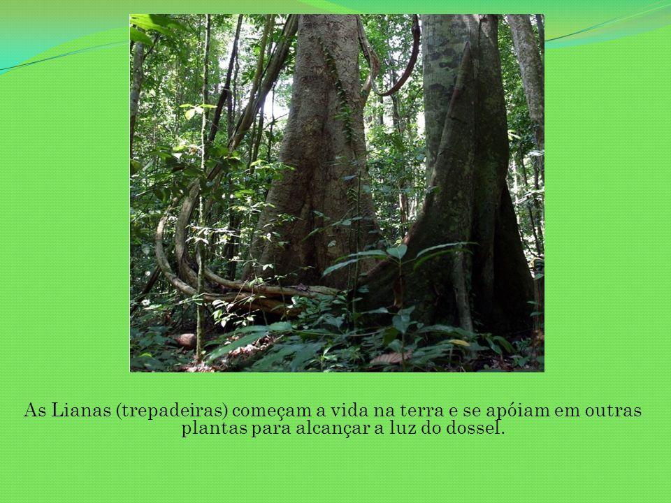 As Lianas (trepadeiras) começam a vida na terra e se apóiam em outras plantas para alcançar a luz do dossel.