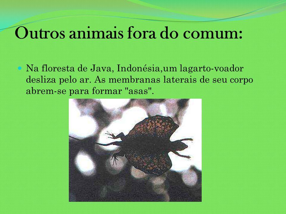Outros animais fora do comum: Na floresta de Java, Indonésia,um lagarto-voador desliza pelo ar. As membranas laterais de seu corpo abrem-se para forma
