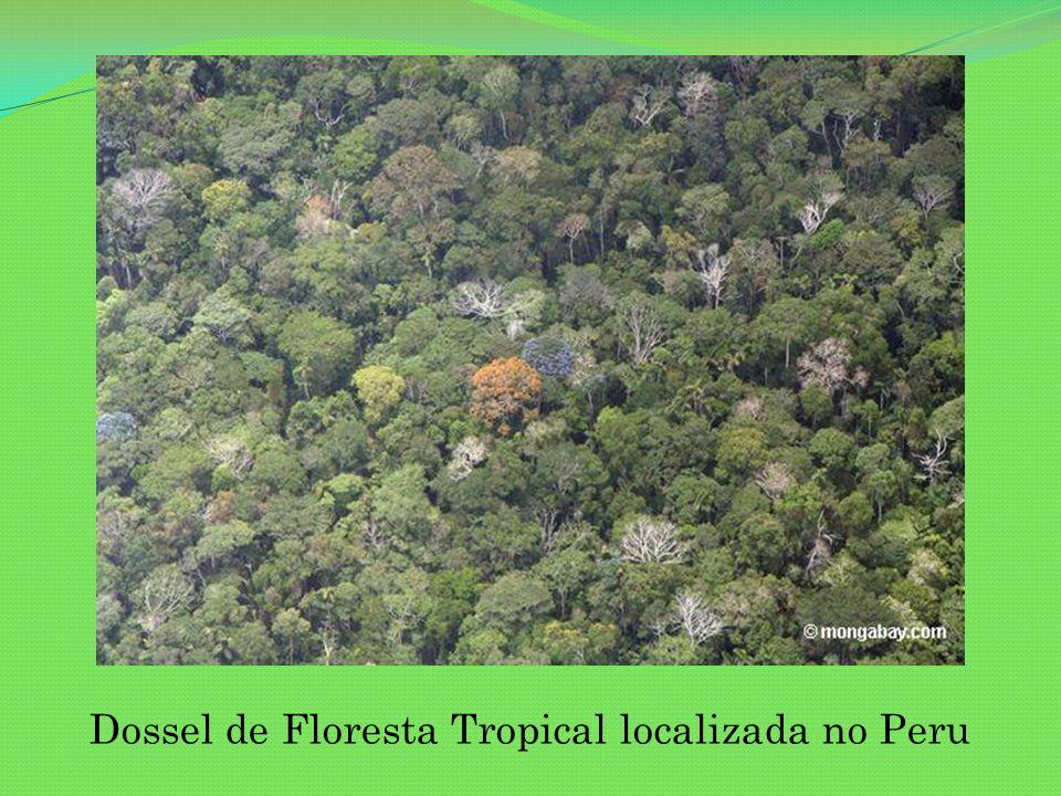 Swietenia macrophylla (Mogno) Madeira de cor castanho-avermelhada é cobiçada pela indústria de móveis por sua durabilidade e resistência aos cupins.